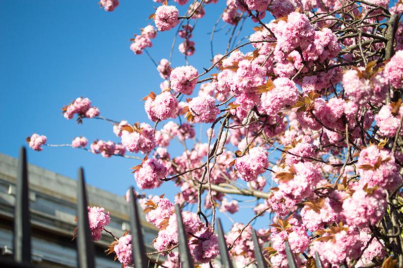 bloomzy-cherry-blossom-sakura-chruch-street-stoke-newington-london-1